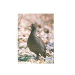 Photo Target francolin paper